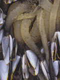 Pelagic Goose Barnacles (Lepas Anatifera) Some Feeding, Pacific Coast of North America Photographic Print by Doug Sokell