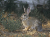 Mountain Cottontail Rabbit, Sylvilagus Nuttallii, North America Photographic Print by Jack Ballard