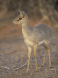 Guenther's Dik-Dik, Madoqua Guentheri, Samburu, Kenya, Africa Photographic Print by Adam Jones