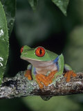Red-Eyed Treefrog (Agalychnis Callidryas), Central America. Photographic Print by Joe McDonald