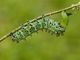 Calleta Silkmoth Last Instar Caterpillar Eating a Leaf (Eupackardia Calleta). Texas, USA Photographic Print by Leroy Simon