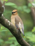 Cedar Waxwing, Bombycilla Cedorum, North America Photographic Print by Adam Jones