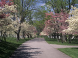 Pink and White Dogwood Trees in Bloom Along a Fenced Road, Lexington, Kentucky, USA Photographic Print by Adam Jones