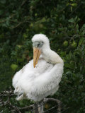 Wood Stork Chick, Mycteria Americana, . Florida, USA Photographic Print by John Cornell