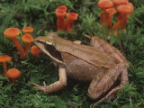 Wood Frog, Rana Sylvatica, on the Forest Floor with Mosses and Mushrooms. Eastern USA Photographic Print by Gary Meszaros