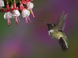 Male Ruby-Throated Hummingbird Hovering Near Flowers (Archilochus Colubris), Eastern USA Photographic Print by Adam Jones