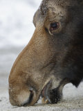 Close Up of a Moose Licking at a Salt Lick (Alces Alces), North America Photographic Print by Garth McElroy