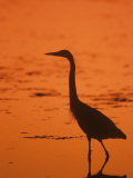Great Blue Heron Silhouette at Twilight (Ardea Herodias), North America Fotografiskt tryck av John & Barbara Gerlach