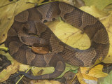 Northern Copperhead (Agkistrodon Contortrix Mokasen) Photographic Print by Bill Beatty