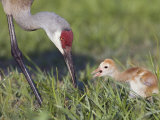 Sandhill Crane (Grus Canadensis) with Chick Eating an Insect, Florida, USA Photographic Print by Arthur Morris