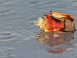Whelk on a Sandy Beach, Florida, USA Photographic Print by Arthur Morris