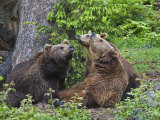 Brown Bears, Ursus Arctos, Bavarian Forest National Park, Germany, Europe Photographic Print by Fritz Polking