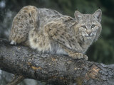 Bobcat, Lynx Rufus, North America Photographic Print by Joe McDonald