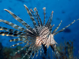Lionfish or Turkeyfish (Pterois Volitans), Indian Ocean Photographic Print by Reinhard Dirscherl