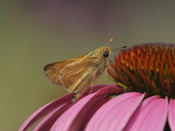 Broken Dash Skipper on Coneflower, Wallengrenia Otho, Echinacea Purpurea Photographie par Adam Jones