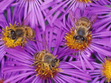 Honey Bees, Apis Mellifera, Pollinating New England Aster Flowers Photographic Print by Bill Beatty