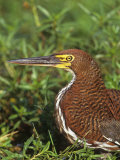 Rufescent Tiger Heron Head, Tigrisoma Lineatum, Pantanal, Brazil, South America Photographic Print by Arthur Morris