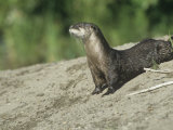 River Otter, Lutra Canadensis, North America Photographic Print by Joe McDonald