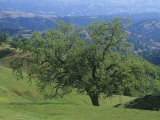 Adam Jones - Oak Woodland, Quercus, and Grassland in the Coast Ranges of California, USA Fotografická reprodukce