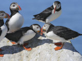 Atlantic Puffins, Fratercula Arctica Photographic Print by Gustav W. Verderber