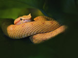 Eyelash Viper, Bothriechis Schlegelii, Captive, Newport Aquarium, Newport, Kentucky Photographic Print by Adam Jones
