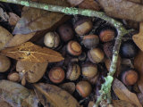 Willow Oak Acorns on the Fall Forest Floor (Quercus Phellos), Florida, USA Photographic Print by Leroy Simon