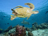 Two Remoras Cling to This Green Sea Turtle (Chelonia Mydas) Swimming over a Coral Reef, Malaysia Photographic Print by David Fleetham