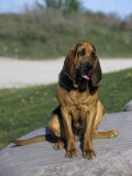 Bloodhound Breed of Domestic Dog Photographic Print by Cheryl Ertelt