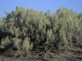 Sagebrush, Artemisia Tridentata, the Nevada State Flower, USA Photographic Print by Gary Will