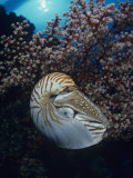 Chambered Nautilus (Nautilus Pompilius) and Soft Coral, Indonesia Photographic Print by David Fleetham