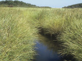 Saltmarsh, Spartina, Habitat, Atlantic Coast, USA Photographic Print by John D. Cunningham