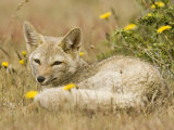 A Patagonian Gray Fox, Dusicyon Griseus or Pseudalopex Griseus Photographic Print by Joe McDonald