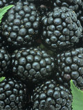 Smooth Blackberry Harvest (Rubus Canadensis), Eastern North America Photographic Print by Wally Eberhart