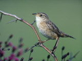 Sedge Wren (Cistothorus Platensis), North America Photographic Print by Steve Maslowski