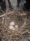 Northern Cardinal, Cardinalis Cardinalis, Nest with Eggs, North America Fotografisk trykk av Charles Melton