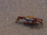 Sally Lightfoot Crab, Grapsus Grapsus, Galapagos Islands, Ecuador Photographic Print by John & Barbara Gerlach