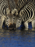 Two Common Zebras, Equus Burchelli, Drinking at a Kenya Waterhole Photographic Print by Joe McDonald