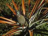 Pineapple Developing, Ananas Comosus Photographie par John D. Cunningham