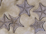 Fossil Sea Stars (Crateraster Mccarteri), 85 M.Y.A., Texas, USA Photographic Print by Ken Lucas
