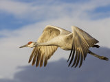 Sandhill Crane in Flight, Grus Canadensis, North America Photographic Print by John Cornell