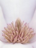 Yulan Magnolia Flower Details, Magnolia Denudata, Originally from China Photographic Print by Adam Jones