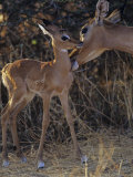 Impala Mother Grooming Her Young, Aepyceros Melampus, Samburu, Kenya, Africa Photographic Print by Joe McDonald