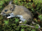 White-Footed Mouse, Peromyscus Leucopus, Ohio, USA Photographic Print by Gary Meszaros