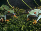 Red-Eyed Treefrogs, Agalychnis Callidryas, Central America Photographic Print by Gerold & Cynthia Merker