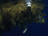 Harbor Seal (Phoca Vitulina) in Drifting Kelp Offshore, California, USA Photographic Print by Richard Herrmann