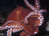Giant Pacific Octopus Showing Suckers on its Arms, Alaska to California, Usa Photographic Print by Ken Lucas