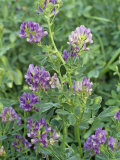 Alfalfa in Bloom, Medicago Sativa, North America Photographic Print by David Sieren