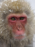 Snow Monkey (Macaca Fuscata), Jigokudani Reserve, Japanese Alps Hot Springs, Japan Photographic Print by Tom Walker