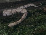 Southern Copperhead Juvenile, Agkistrodon Contortrix, Southeastern USA Photographic Print by Joe McDonald