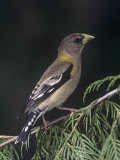 Female Evening Grosbeak, Coccothraustes Vespertinus, Eastern North America Papier Photo par Joe McDonald